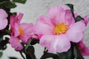 Camélia sasanqua