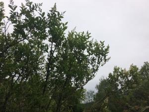 Troène commun, Troène d'Europe Ligustrum vulgare